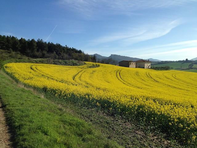 6Abr14-Campo cultivo colza Orderiz