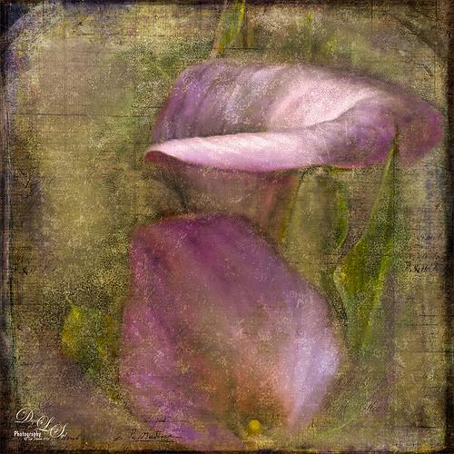 Image of beautiful pink calla lilies