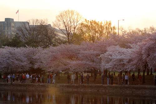 cherry trees and people -- lots of people