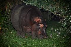hippopotamus  at night