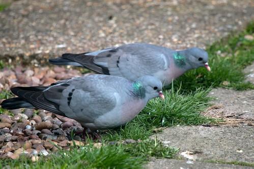 Stock Doves IMG_0771