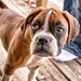 Rubby the Boxer Puppy by Fuhrtographer........Weekend warrior for now, extr
