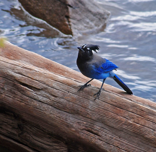Steller's Jay - Woods Canyon Lake, AZ