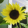 Blissed-Out Bloom #bloom #flower #sunflower #garden #muz4now #green #outside #outdoors