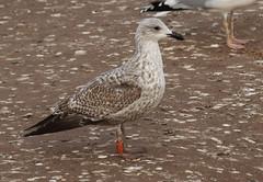 Goéland argenté - Larus argentatus - Herring Gull - 2:DAX
