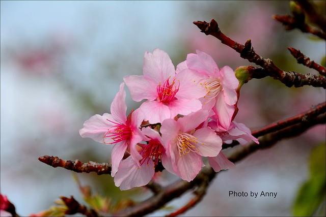 麗池櫻花10