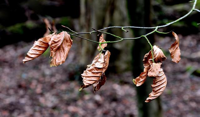Beech Leaves Fagus sylvatica