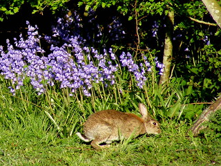Rabbit among Bluebells