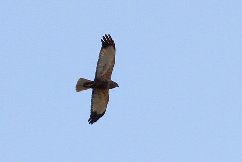 Edit - Eurasian Marsh Harrier - IMG_6331