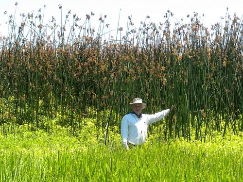 nature natural observation sc carolina clarendoncounty snwr santee wildliferefuge cyperaceae scirpuis taxonomy biology wetland stem culm botany linnaeus science