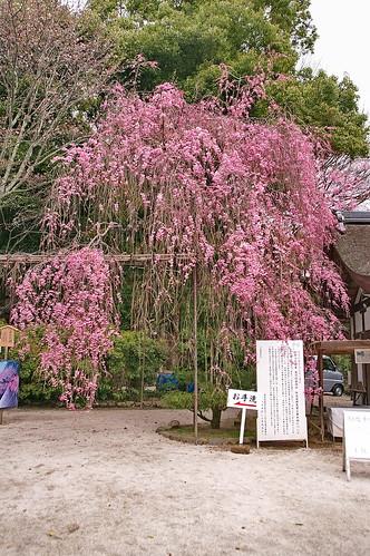 【写真】2013 桜 : 上賀茂神社/2020-09-09/IMGP9512
