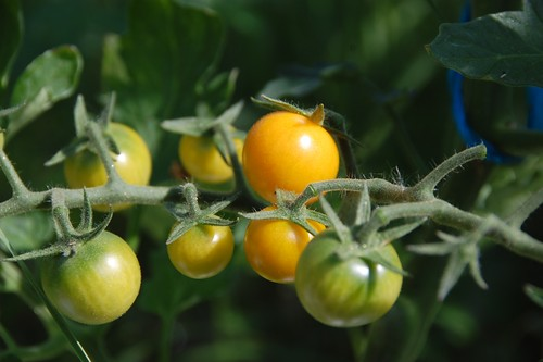 Tomato Golden Sweet