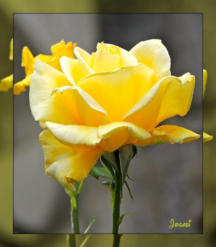 Une rose pour des pensées ....... A rose for thoughts ... by Jogabi-Michèle