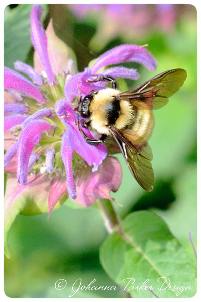 Bumble-Bee-on-Beebalm