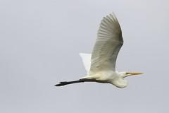 Eastern Great Egret 5533