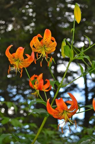 Clingman's Dome Road Tiger Lilies