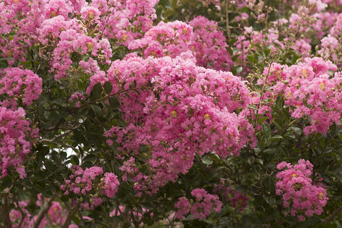 Crepe Myrtle Flowers by bahayla