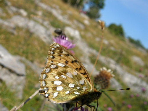 Dark Green Fritillary - underside of wings
