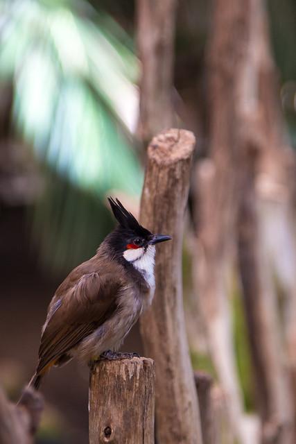 Bioparc Fuengirola Punaposkibulbuli Red-whiskered Bulbul
