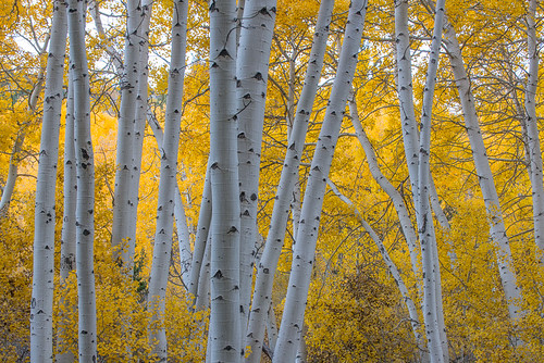 Fall colors in the Eastern Sierra: Aspens