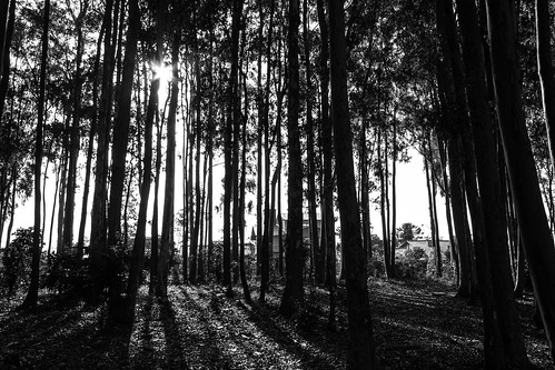 school trees light blackandwhite sun nature grass forest sunrise grayscale liberato