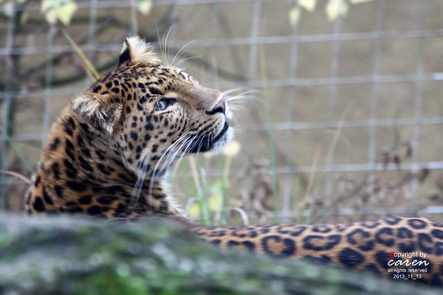 Chinesischer Leopard Julius 2013_11_13 413