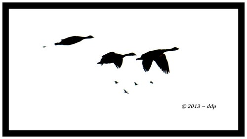 Canada Geese in Flight ~ Looks Nasty but It Isn't