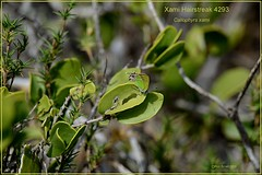 Xami Hairstreak Texas Butterfly photography by Ron Birrell, DSC_4293