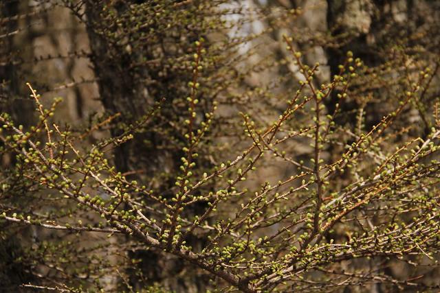 島根県側には芽吹きのはじまったカラマツがあった.