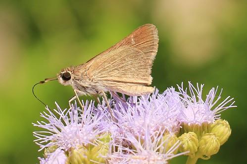 macro skipperbutterfly georgetowntexas mybutterflygarden bluemistflowerconocliniumcoelestinum
