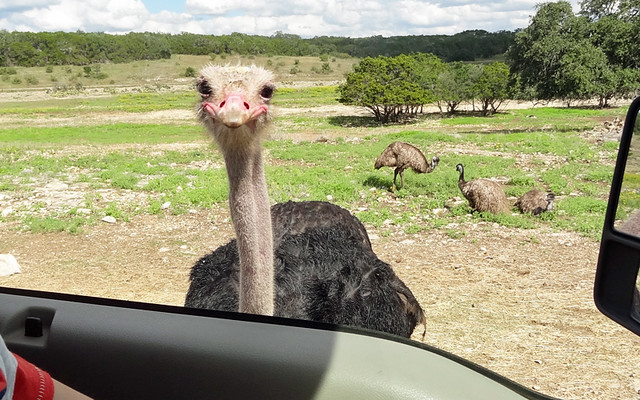 ostrich-outside-car