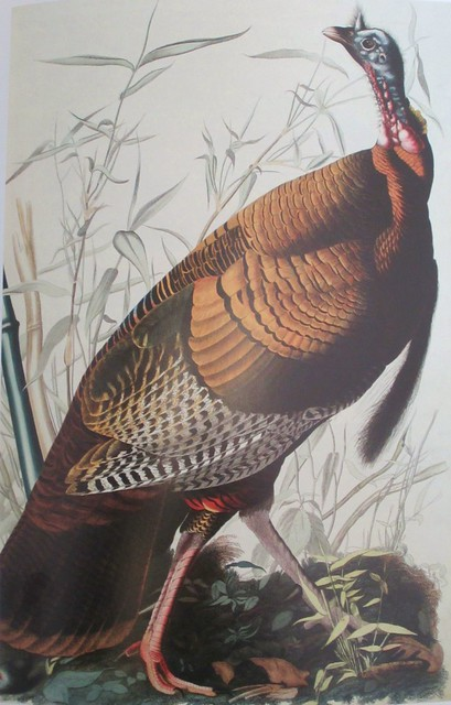 Wild Turkey - Audubon picture