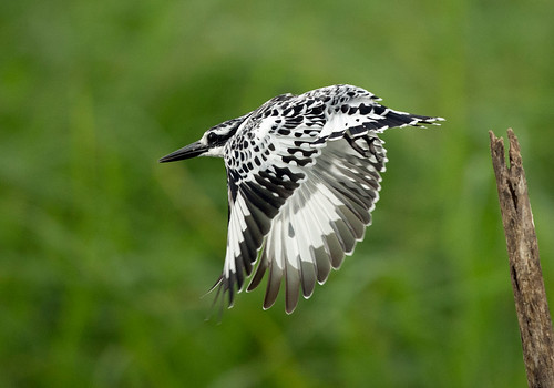 Pied Kingfisher, Ceryle rudis, Msuna Fishing Resort, Zambezi River, Zimbabwe 1 by Jeremy Smith Photography