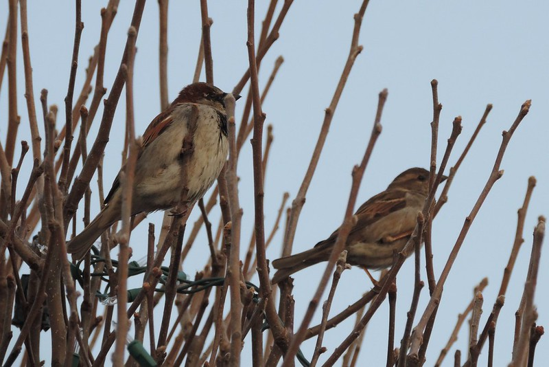 House Sparrows ♂ and ♀