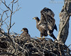 2 Eagle Fledglings...Llano Eagles