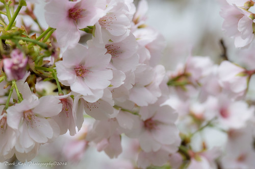 クメノサクラ | Okinawa, Japan #4