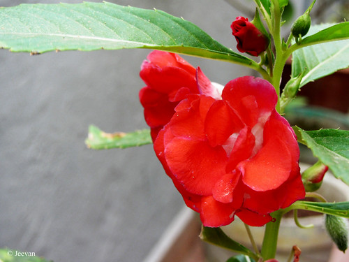 Red Balsam @ home