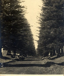 Avenue of pines, Longridge [RAHS/Frank Walker Collection]