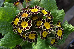 PRIMULA Gold-laced Group