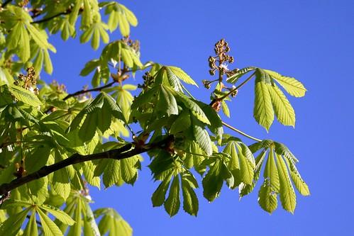 Chestnut in spring III