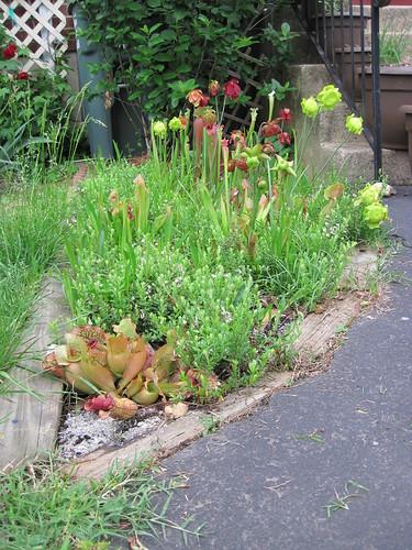 Pitcher Plant Bog, late spring