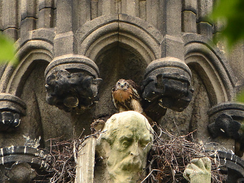 Cathedral Hawk Nestlings (0776)