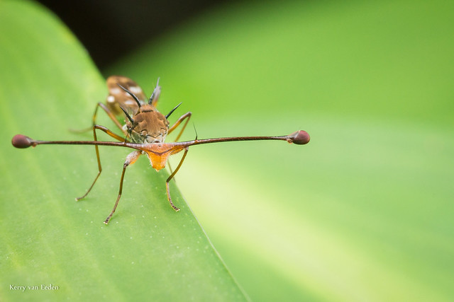 Stalk-Eyed Fly 2