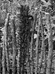 Sole survivor, ocotillo fence in the Native American Crops Garden at Tucson Botanical Gardens