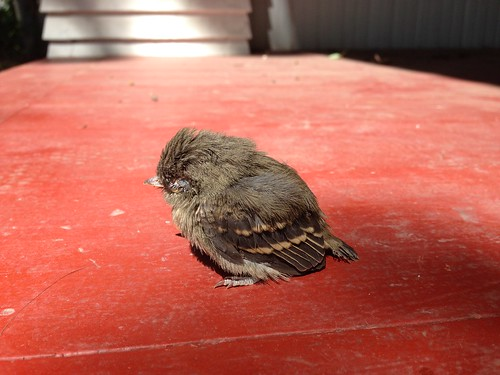 Fledgling Pacific-slope flycatcher