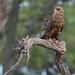 Juvenile Bateleur Eagle (Eric Browett)