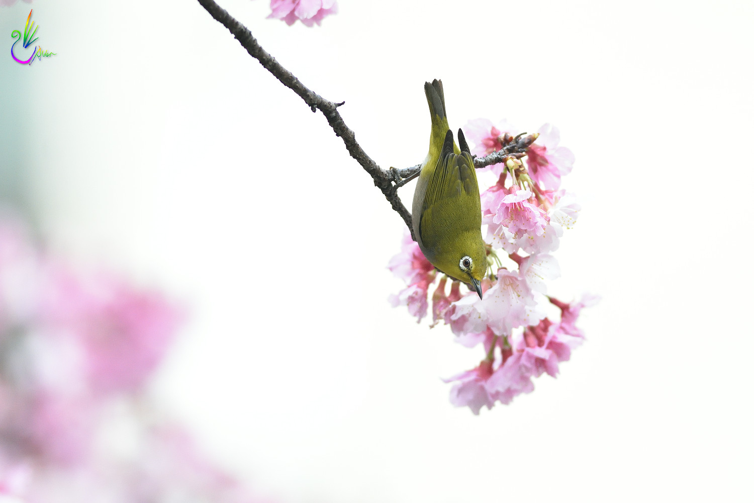 Sakura_White-eye_4904