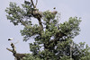 White Stork Colony on Oak tree