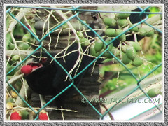 A male Asian Koel (Eudynamys scolopaceus) feasting on fruits of our Manila/Christmas Palm, June 15 2013