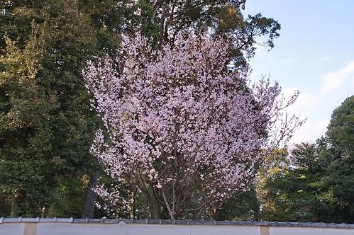 【写真】2013 桜 : 平野神社/2021-01-09/IMGP8723